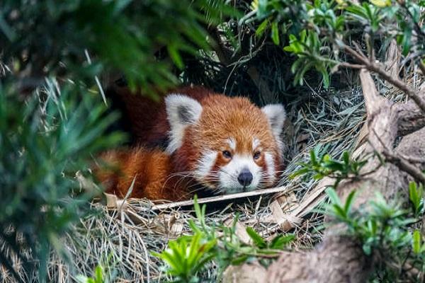 Panda Rojo – Singapore