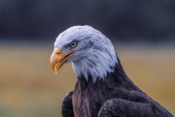 eagle-3955951_1920