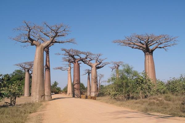 Boabab Madagascar
