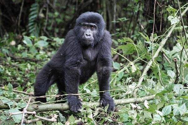 Gorila en Bwindi