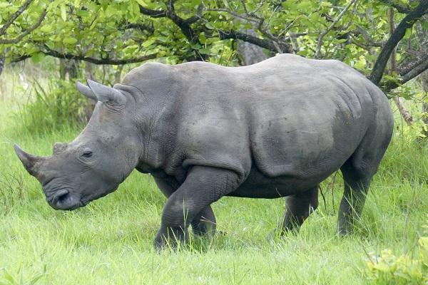 Rinoceronte en Ziwa