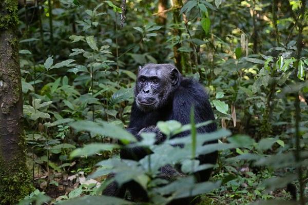 chimpanzee KIibale