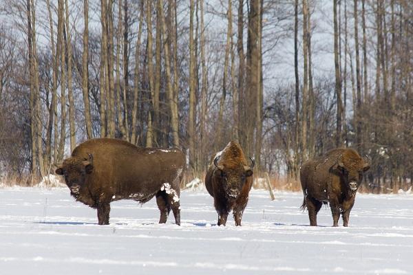 ubr europejski zim w Puszczy Knyszyskiej (Bison bonasus)