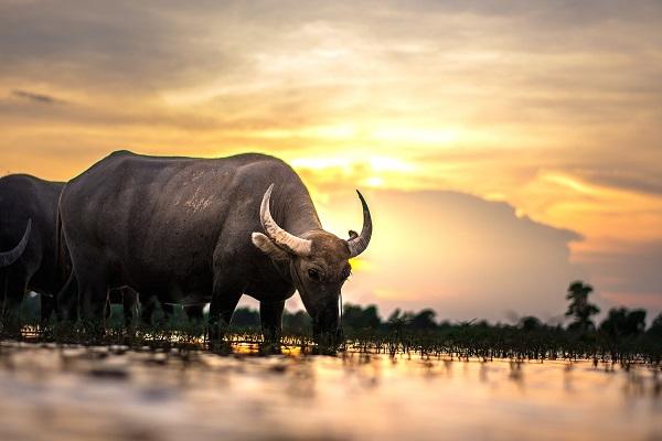 buffalo-2366604_1920
