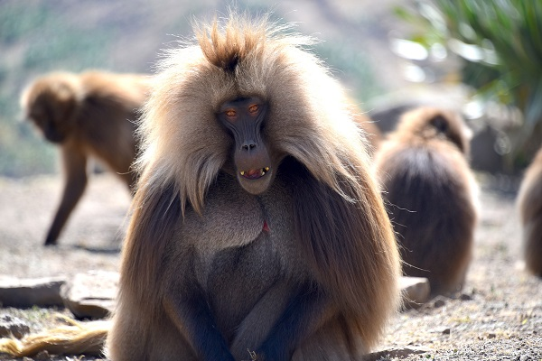 Mono Etiopía