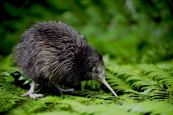 6 day old Kiwi Chicks. New Zealand